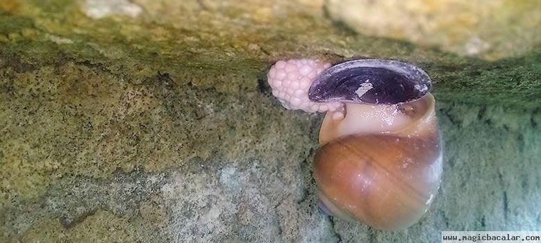 El caracol chivita, molusco acuático